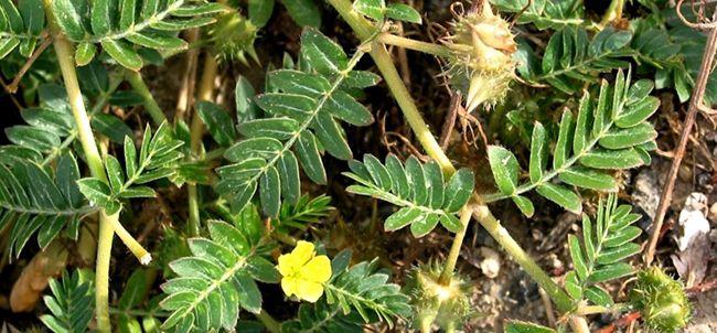 Kotvičník zemní neboli Tribulus terrestris